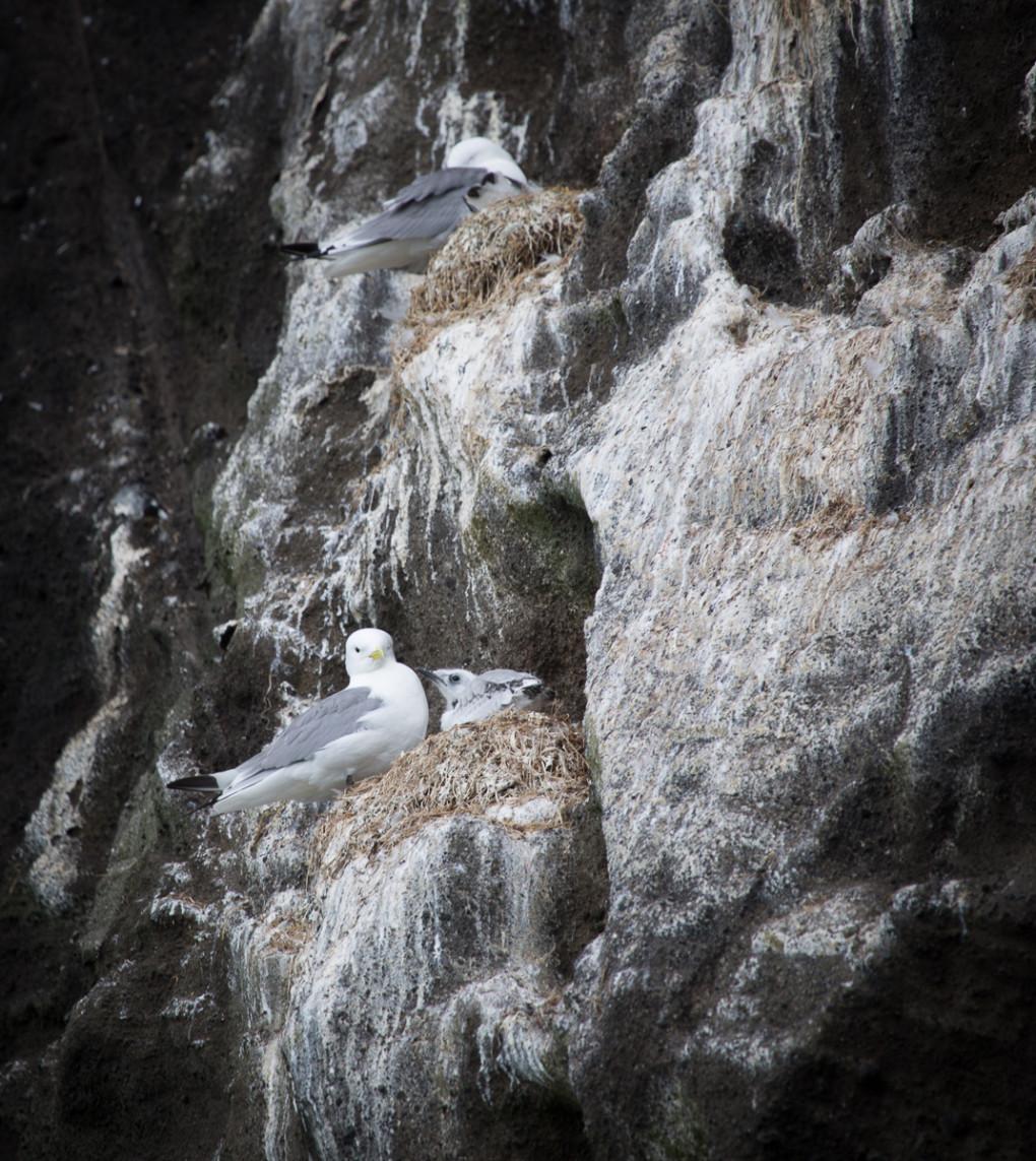 Fototur til Island. Sjøfugl